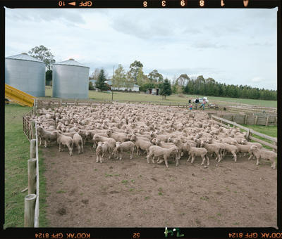 Negative: Mulholland Farm Sheep
