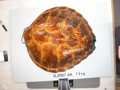 Tortoise Shell: Decoration