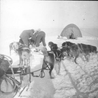 Lantern slide: Staking out dogs with tent in background