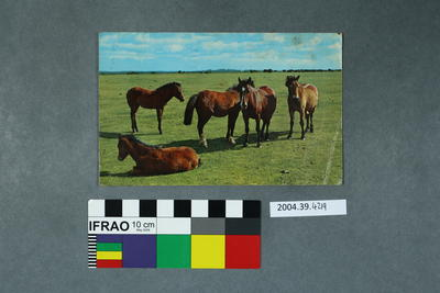 Postcard of new forest ponies