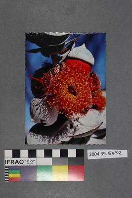 Postcard of eucalyptus blossom