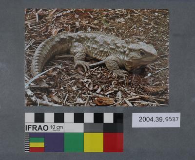 Postcard of a tuatara