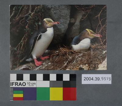 Postcard of yellow eyed penguins