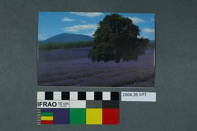 Postcard of a lavender farm