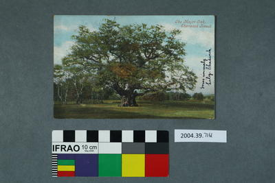 Postcard: The Major Oak, Sherwood Forest