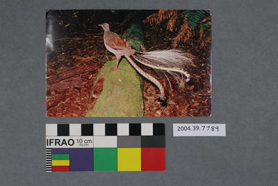 Postcard: Bird with long tail