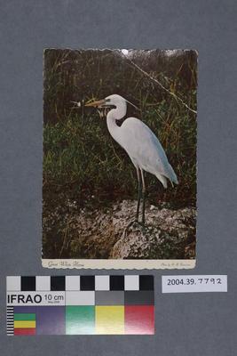 Postcard: Great White Heron