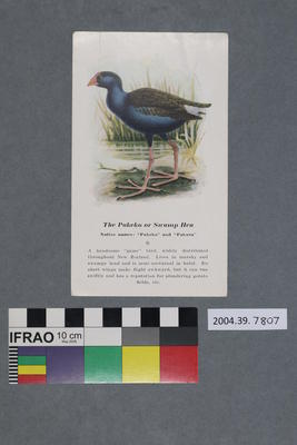 Postcard: The Pukeko or Swamp Hen