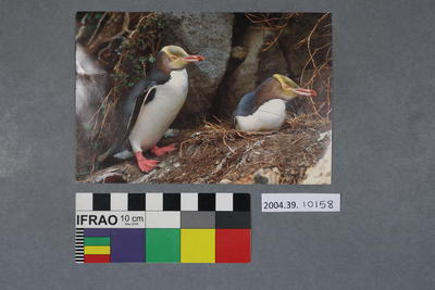 Postcard: Two Yellow-eyed Penguins