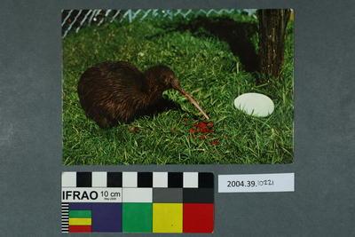 Postcard: Kiwi and Egg