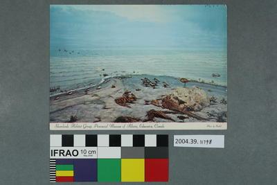 Postcard: Shorebirds Habitat Group, Provincial Museum of Alberta, Edmonton, Canada