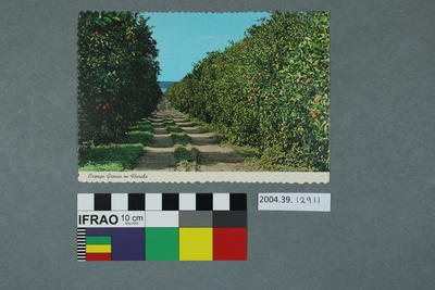 Postcard: Orange Groves
