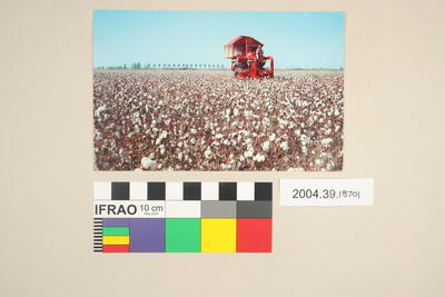 Postcard of cotton harvesting
