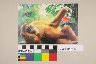 Postcard of a reclining Orangutan
