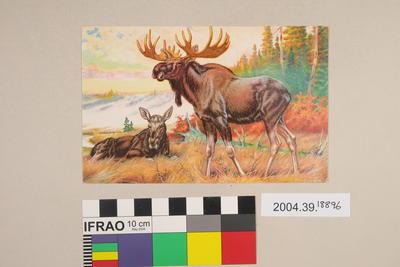 Postcard: Moose