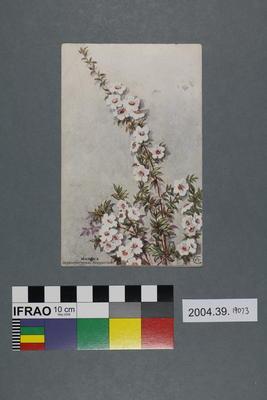 Postcard: Manuka, Septospermum scoparium