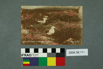 Postcard: Lesser BB Gulls Nesting