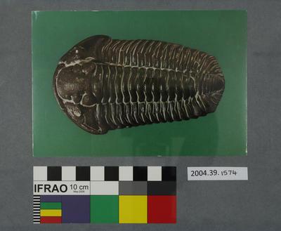 Postcard of a fossilised trilobite