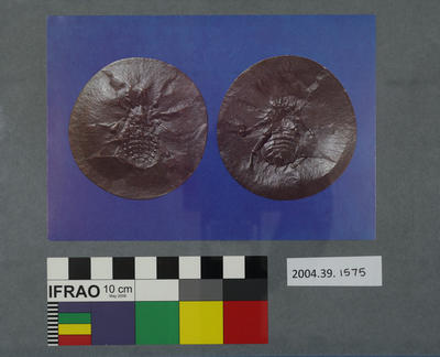Postcard of two fossilised spiders