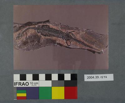 Postcard of a fossilised nothosaur
