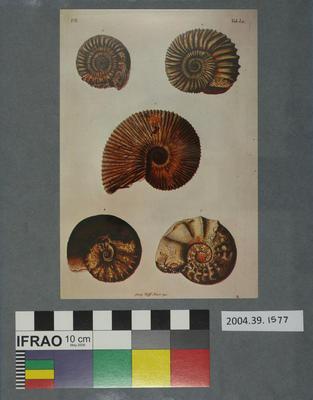 Postcard of five fossilised ammonites