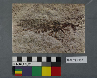 Postcard of a fossilised snake-fly