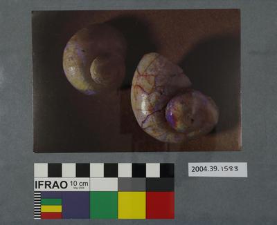 Postcard of two fossilised marine shells