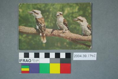 Postcard: Kookaburras