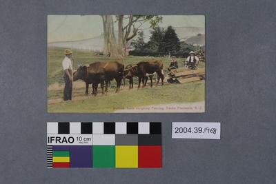 Postcard: Bullock Team sleighing Fencing, Banks Peninsula, N.Z.