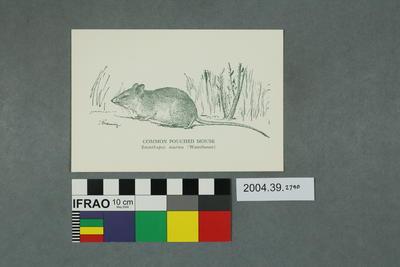Postcard: Common Pouched Mouse