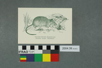 Postcard: Yellow-footed Phascogale
