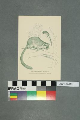 Postcard: Leadbeater's Possum
