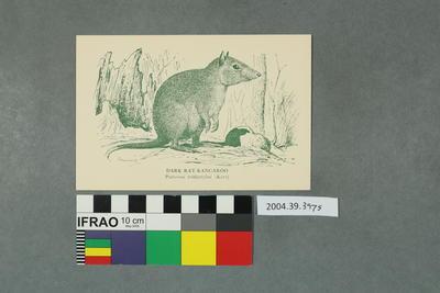 Postcard: Dark Rat-Kangaroo