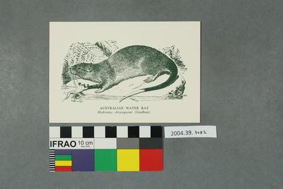 Postcard: Australian Water Rat