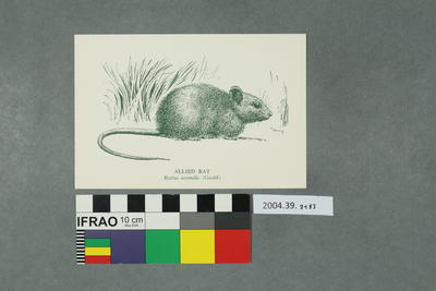 Postcard: Allied Rat