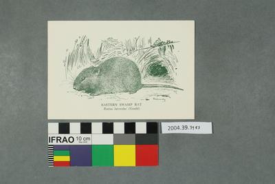Postcard: Eastern Swamp Rat