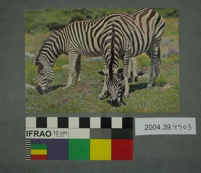 Postcard of two zebras