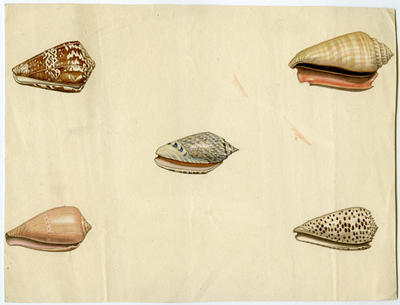 Watercolour Painting: Shells