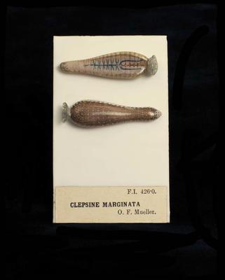 Glass Model Invertebrate: Clepsine marginata