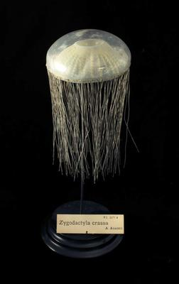 Glass Model Invertebrate: Zygodactyla crassa