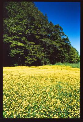Slide: Wild Buttercups Lewis Pass