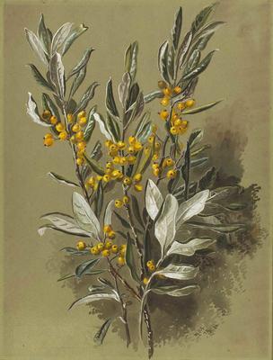Painting: Corokia macrocarpa (Chatham Island Korikio)