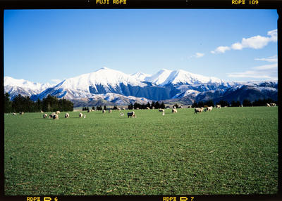 Transparency: Sheep And Southern Alps