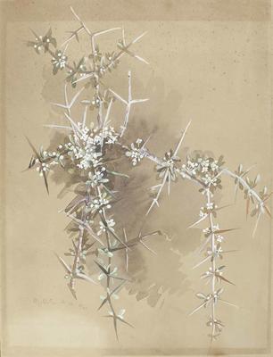 Painting: Discaria toumatou (Wild Irishman, Matagouri)
