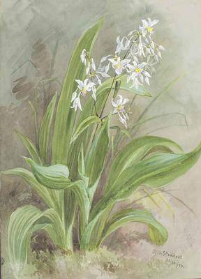 Painting: Arthropodium cirratum (Rengarenga, Rock Lilly)