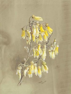 Painting: Sophora microphylla (Kowhai)