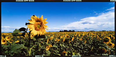 Transparency: Sunflower Crop Lincoln