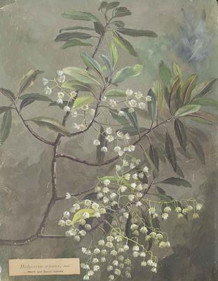 Painting: Hedycarya arborea