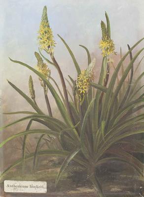 Painting: Anthericum hookeri