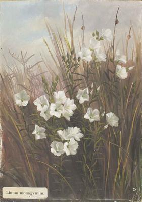 Painting: Linum monogynum